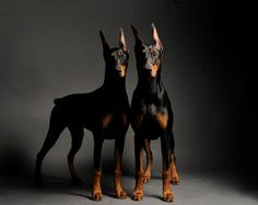 The Doberman Pinscher (alternatively spelledDobermann in many countries) or simplyDoberman, is a medium-large breed of domestic dog originally developed around 1890 by Karl Friedrich Louis Dobermann, a tax collector from Big Dogs, I Love Dogs, Cute Dogs, Beautiful Dogs, Animals Beautiful, Cute Animals, Beautiful Images, Pinscher Doberman, Doberman Love
