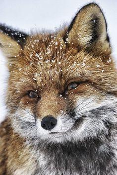 Frosty Mr. Fox!