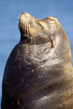 California Sea Lion by Peter Liu
