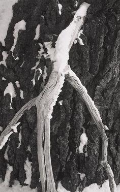 ANSEL ADAMS  1902 - 1984 Branch and Snow, Yosemite Date:ca. 1938