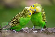 Types Of Animals, Animals And Pets, Cute Animals, Baby Animals, Funny Animals, Cockatiel, Budgies, Parrots, Love Birds