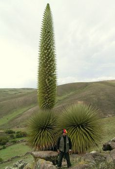 Puya raimondii This is an endangered species that is being kept alive in only a few places outside its native Andes range.
