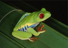 Red-Eyed Tree Frog | Tree Frog Care Sheet Can You Last Long With a Pet Frog? Pet Frog ...