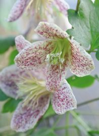 If you thought you'd have to wait until next spring/summer to enjoy clematis, think again. There are plenty of evergreen and semi-evergreen forms that flower in winter and will add extra sparkle -
