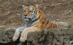 2017-03-19 - Beautiful tiger picture - #1654774