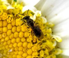 Lasioglossum bees are the smallest of the native bees. They are important pollinators of many native species in the New Zealand bush.