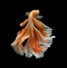 芭蕉blog | 何度見ても美しい、タイの闘魚(ベタフィッシュ) 19P