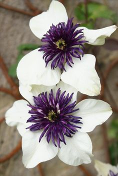 white with purple center clematis Exotic Flowers, Amazing Flowers, Purple Flowers, White Flowers, Beautiful Flowers, Summer Flowers, Clematis Plants, Clematis Flower, Clematis Vine