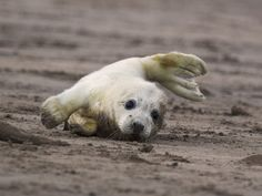 Clumsy baby seal:)