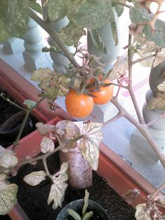 Foto Blog Puerto Rico: Cherry Tomates