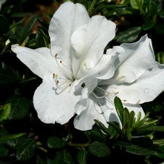 Proven Winners | Bloom-A-Thon® White - Reblooming Azalea - Rhododendron