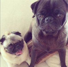 Maya/Puga-chan with her brother Edgar! I love pugs:)<3