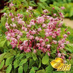 bodendecker clematis 39 arabella 39 garten pinterest g rten pflanzen und bodendecker. Black Bedroom Furniture Sets. Home Design Ideas