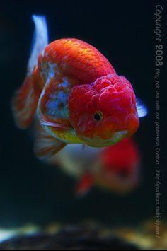 Forever Goldfish