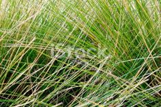 Tussock Grass Background Royalty Free Stock Photo Grass Background, Kiwiana, Abstract Photos, Native Plants, Image Now, Simply Beautiful, New Zealand, Flora, Royalty Free Stock Photos