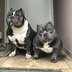 """people tell me, """"they look so mean!"""" love must truly be in the eye of the beholder cause I can't see mean and my vision is just fine. Cãezinhos Bulldog, Bulldog Puppies, American Bully Pocket, Pocket Bully, American Bullies, Big Dogs, Cute Dogs, Bully Pitbull, Gotti Pitbull"""
