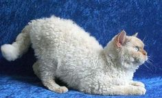 """Scientists present genetic analysis of Selkirk Rex cats. """"the Selkirk Rex breed arose from a spontaneous mutation in a single cat around 25 years ago. Laperm, Selkirk Rex, Curly Haired Cat, Curly Cat, Animals And Pets, Funny Animals, Cute Animals, Maine Coon, Cute Cats"""