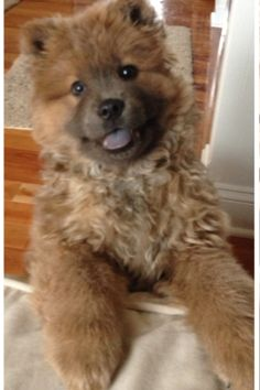 Chow puppy IWANT ONE!!!!!!!!!!!!!