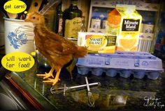 Raising Chickens for Dummies-what you need to know before raising them.