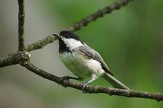 This little Black-capped Chickadee landed in a small tree