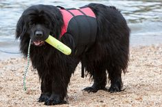 I bet my Newfoundland would swim in Long Beach with me and Clancy boy...