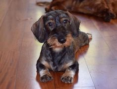 Courtesy Of Long Dogs WA Facebook Page Piebald Dachshund, Doxie Puppies, Wire Haired Dachshund, Dachshund Puppies, Weenie Dogs, Dachshund Love, Pet Dogs, Daschund, Chihuahua Dogs