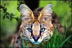 """The serval known in Afrikaans as Tierboskat, """"tiger-forest-cat"""", is a medium-sized African wild cat. DNA studies have shown that the serval is closely related to the African golden cat and the caracal African Serval Cat, African Wild Cat, Serval Cats, Caracal, Beautiful Cats, Animals Beautiful, Cute Animals, Wildlife Nature, Nature Animals"""