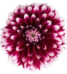 Proven Winners - Dalina® Grande Cancun - Dahlia hybrid red white burgundy with white tips plant details, information and resources. Dahlia Care, Dahlia Flower, Burgundy Flowers, Bright Flowers, Flower Colors, Cancun, Colorado Flowers, Mixed Border, Arizona Gardening