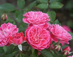 Marriotta (Palatine Roses), HMF member rates it as good shade and heat tolerance