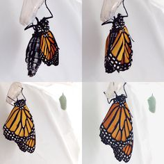 monarch butterfly eclosing from its chrysalis by Golly Bard.