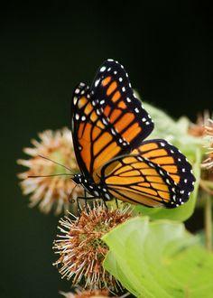 Viceroy    Viceroy Butterfly