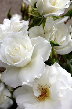 Iceberg Roses work well in Santa Clarita, and actually do not need much water. Many people overwater roses.