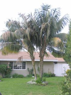 Full size picture of Kentia Palm, Sentry Palm, Paradise Palm (Howea forsteriana). Shade tolerant.