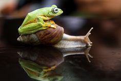 Hitchhiking Animals: The frog climbs on top of a snail in Sambas, Indonesia, on Dec. 26, 2014