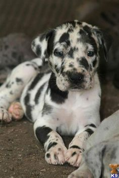 Catahoula Leopard Dog. | Pets