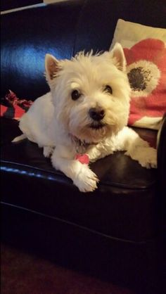 My mommy saved my life by changing vets. McDougal, Westie