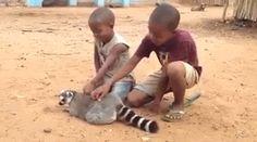 "gifsboom: "" Lemur loves his back scratches. """