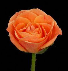 Mambo Spray (Orange) Roses: