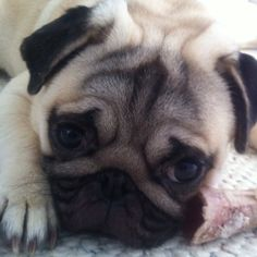 Pug in need of a hug