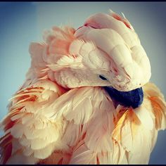 parrot/cockatoo || pappagallo