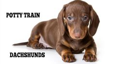 How To Easily Potty Train Dachshunds