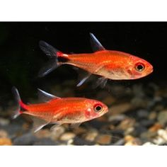 Ruby Red Tetra - future tank candidate.