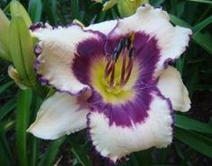 Blueberry Sundae daylily