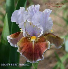 Iris MAN'S BEST FRIEND | Stout Gardens at Dancingtree