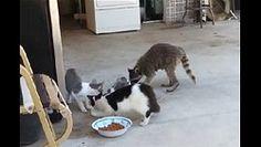 Sneaky raccoon stealing cat food