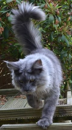 #MaineCoon #Blue #Smoke #Cats Justcoon's Nifty S Back