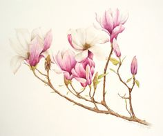 Magnolia ~ by Christine Cansfield-Smith