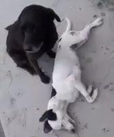 """""""O Grito do Bicho"""": Vídeo: Cão não sai do lado do companheiro que morr..."""