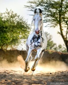 Jadu, stallion of the stables of Bonnie Dundlod, in India.