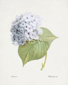 Redoute botanique - « Bleu Hortensia » histoire naturelle Giclee Art Print 8 x 10